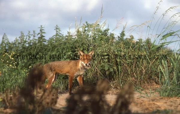 Red Fox 25