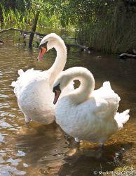 Derwentwater Swans