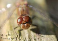 Dragonfl-eye