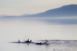 Orcas In The Early Morning