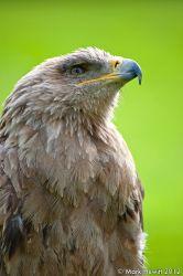 Portrait Of A Bird Of Prey