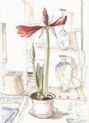amaryllis in bud