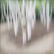 """Silver Birches"""