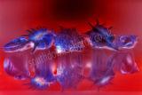 Shells Red & Blue