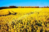 Arundel Yellow Fields