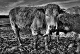 Arundel Cow.jpg