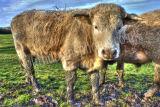 Cow Colour