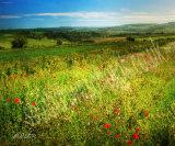 Poppies delight