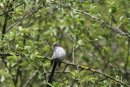 Young Long-tailed Tit.