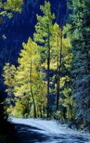 Aspen Trees in Autumn near Silverton, CO, USA