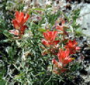 Indian Paintbrush flowers at Chimney Rock Archaelogical Site