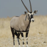 Gemsbok (or Oryx)