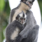 Thomas Leaf Monkey with young