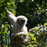 White-handed Gibbon young
