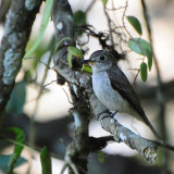 Brown Flycatcher