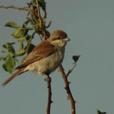 Red- backed Shrike