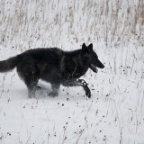 Black and silver Wolf