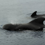 Short-finned Pilot Whales
