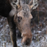 Moose female