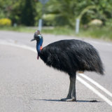 Southern Cassowary crossing