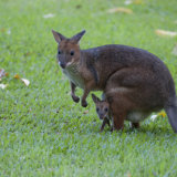 Red-legged Pademelon with baby