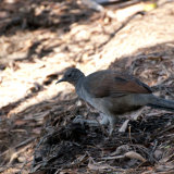 Superb Lyrebird (female)