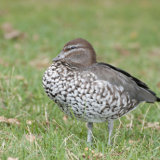 Australian Wood Duck (female)