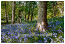 Bluebell Wood Mottistone.