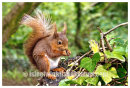 Isle Of Wight Red Squirrel