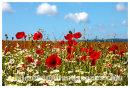 Poppy field .