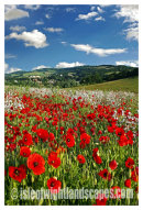 Sandown poppy field