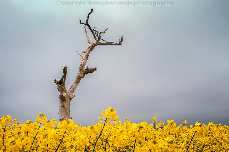 Dead Tree in Yellow