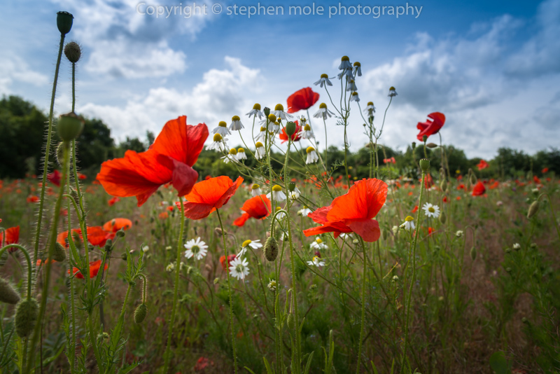 Low level Poppies