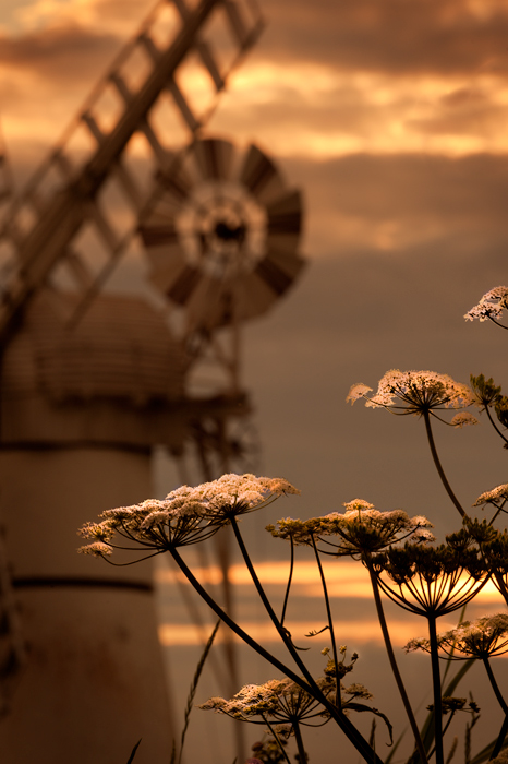Hogweed at Thurne