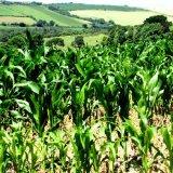 Cornfields Cornwall IMG 3042 pe