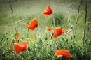 Heartwood poppies 4