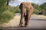 Bull Elephant Pafuri