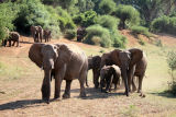 Elephant Matriarch with escort