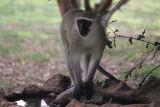 Vervet Monkey - Kings Camp
