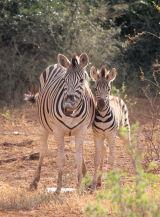 Zebras - Pafuri
