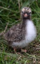 Baby Artic Tern