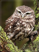 Little Owl - Looking at You
