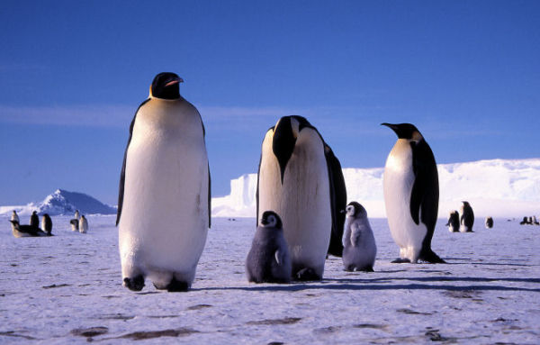 Emperor Penguins at Windy Cove