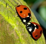 Courting Ladybirds