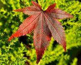 Acer Leaf