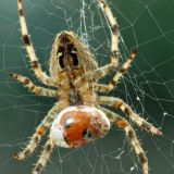 Spider and a Ladybird Lunch