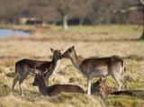 Fallow deer kiss