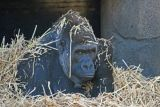 Gorilla in the hay