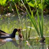 More Nesting for Moorhen