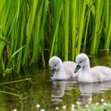 Cygnets - afternoon swim
